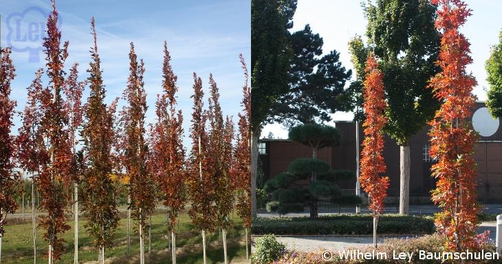quercus palustris green pillar oak gro best gardens. Black Bedroom Furniture Sets. Home Design Ideas